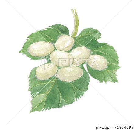 繭と桑の葉 71854095