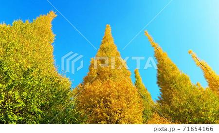 神宮外苑いちょう祭りのイチョウ並木と青空の風景 71854166