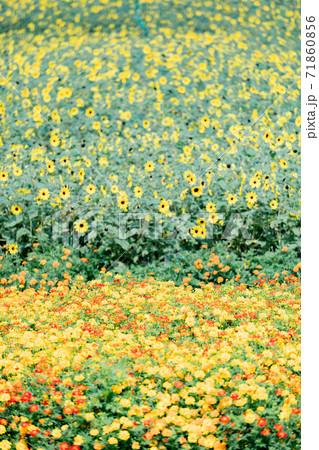岐阜県 花フェスタ記念公園のミニフラワーとマリーゴールド 71860856