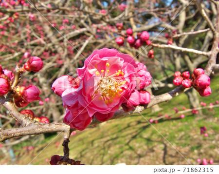 開花直前の蕾がたくさんある中に1輪だけ咲いた薄紅梅・京都御苑梅林 71862315