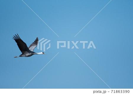 青空をバックに飛ぶ一羽のナベヅル 71863390