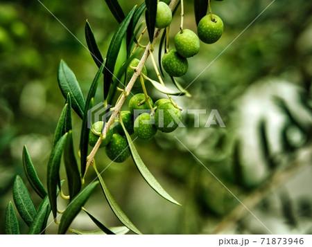 たくさんの実をつけるオリーブの木 71873946
