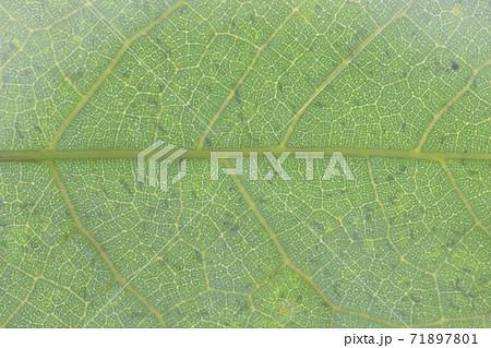 イタビカズラ(崖石榴)の葉と葉脈 71897801