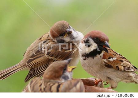巣立ちしたスズメの雛2羽と、餌を与える親スズメ 自然背景 71900680