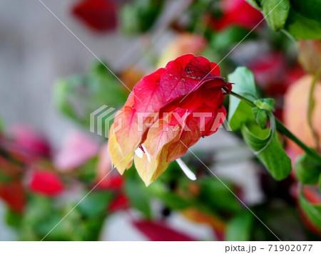 赤と黄色のコエビソウ(バリエガタ) 71902077