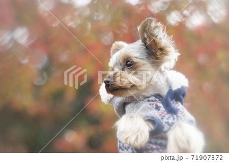 紅葉の葉とフード付きコートを着たヨークシャテリア 71907372