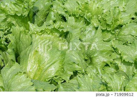 雨に濡れたレタス 栽培 (10月) 家庭菜園 71909612