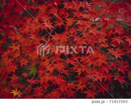 【京都】永観堂の紅葉 真っ赤なモミジ 71917203