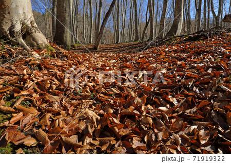 晩秋のブナ林床は落ち葉の絨毯-梁取のブナ林 福島県只見町 71919322