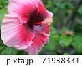 ハイビスカスの花(宮古島 沖縄) 71938331