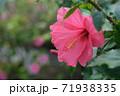 ハイビスカスの花(宮古島 沖縄) 71938335