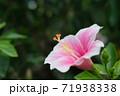 ハイビスカスの花(宮古島 沖縄) 71938338