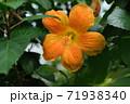 ハイビスカスの花(宮古島 沖縄) 71938340