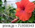 ハイビスカスの花(宮古島 沖縄) 71938343