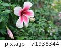 ハイビスカスの花(宮古島 沖縄) 71938344