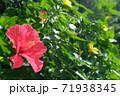 ハイビスカスの花(宮古島 沖縄) 71938345