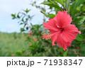 ハイビスカスの花(宮古島 沖縄) 71938347