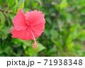 ハイビスカスの花(宮古島 沖縄) 71938348