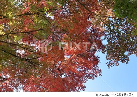 奈良公園、東大寺大仏殿境内の色付く紅葉 71939707