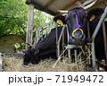 ご飯中の牛 71949472