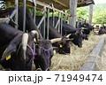 牧草を食べる牛 71949474