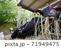 牧草をほおばる牛 71949475
