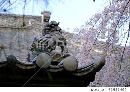 川越 中院の狛犬が飾られた瓦と枝垂れ桜 71951462