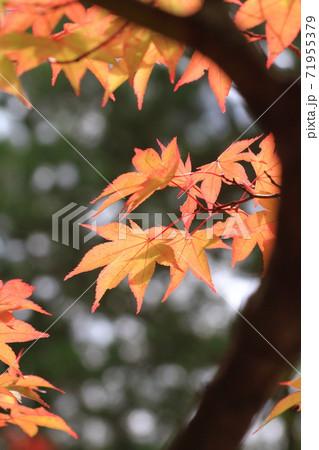 柔らかなオレンジ色の紅葉 駒ケ根高原 71955379