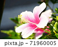 ピンクのハイビスカス 71960005