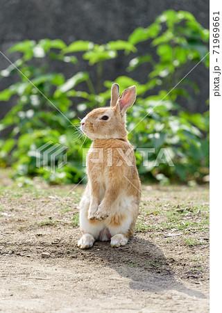 二足で立ち上がったアナウサギ(大久野島) 71969661