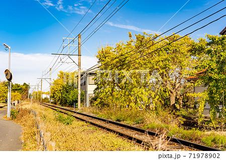 愛知県祖父江町 黄金色のイチョウが続く線路沿い 71978902