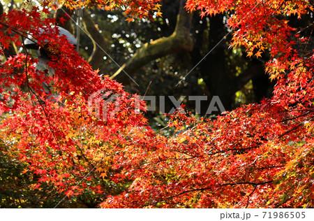 福蔵院の紅葉と修行大師の像(4) 71986505