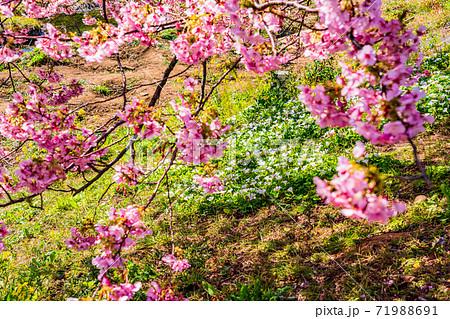 (静岡県)みなみの桜と菜の花祭り 土手に咲いた白い花と河津桜 71988691