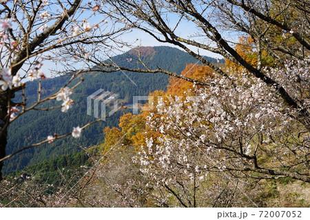 11月 藤岡25冬桜と黄葉のコラボ・桜山公園 72007052