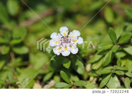 イワダレソウ 小さい花が輪になって集まっている。クロースアップ 72022248