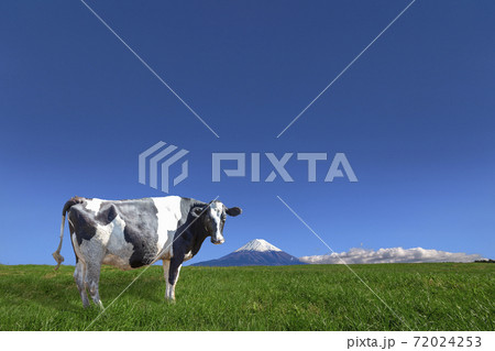 青空と富士山を背景にした高原の牧場で放牧される牛1頭 72024253