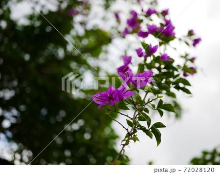 手前に伸びてくる紫色の花、ブーゲンビリア 72028120