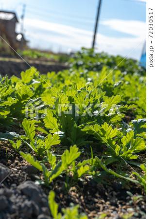 陽に照らされて緑に光るシュンギク畑 72030517