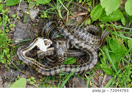 シマヘビの共食い(北海道・知床) 72044763