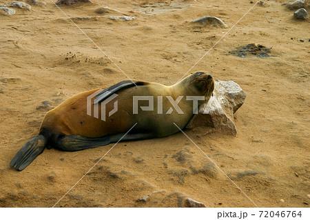 岩を枕にして寝るミナミアフリカオットセイ 72046764