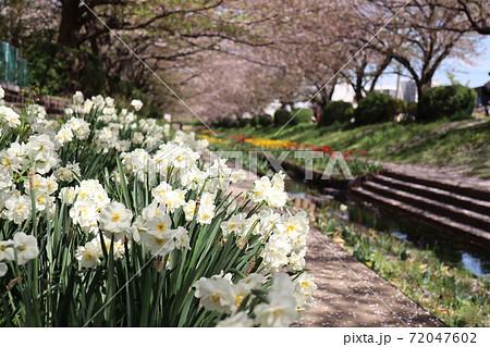 江川せせらぎ緑道の美しい八重咲き水仙と散り桜 72047602