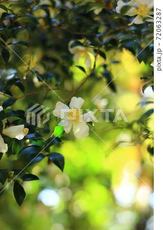 紅葉の下の山茶花 72063287