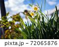 季節外れの水仙と秋空 72065876