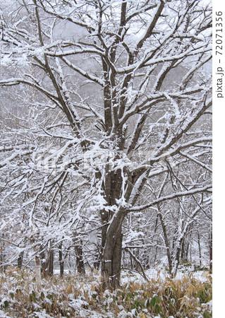 雪深い北海道の四月、残雪の雑木林の大木 72071356