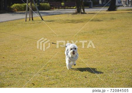 散歩中の子犬(マルチーズ) 72084505
