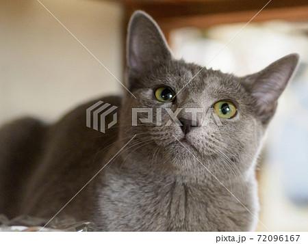 何かを見つめるロシアンブルーの子猫 左斜め上方向 72096167
