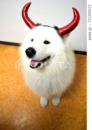 パーティー仮装する愛犬 サモエド犬 72100015