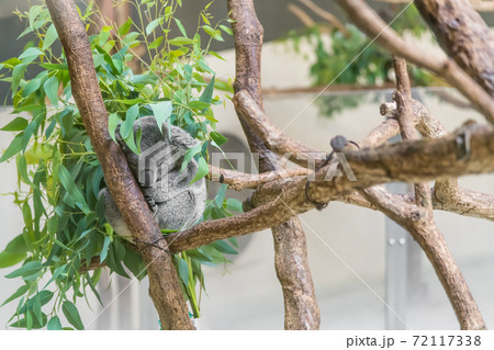 【多摩動物園の木登りするコアラ】 72117338