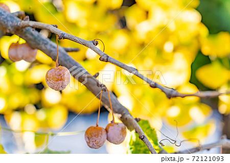 愛知県祖父江町 ぷっくりと実ったギンナンのあるイチョウの木 72121093