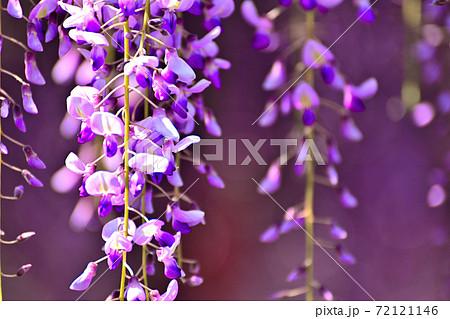 柳川市 満開の藤の花 72121146